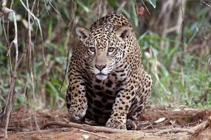 jaguar_panthera_onca_palustris_female_piquiri_river_2