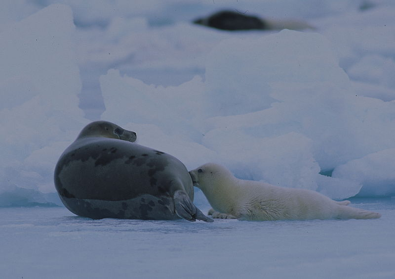 800px-Harp_seal_mother_and_pup