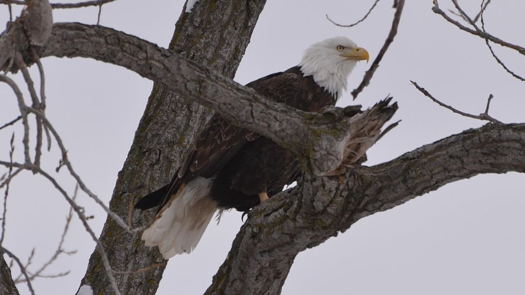 American_Bald_Eagle_(8528525011)