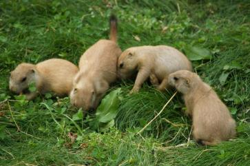 prairie-dog-pups-725x483