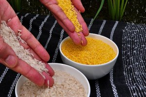 512px-Golden_Rice