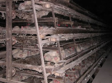 Animal_Abuse_Battery_Cage