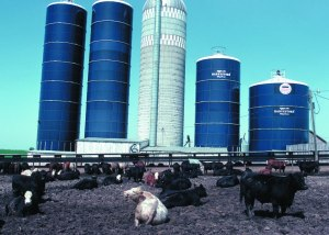Cows_Feedlot_Iowa