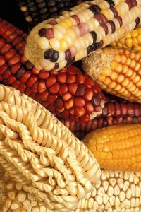 Genetically_modified_corn
