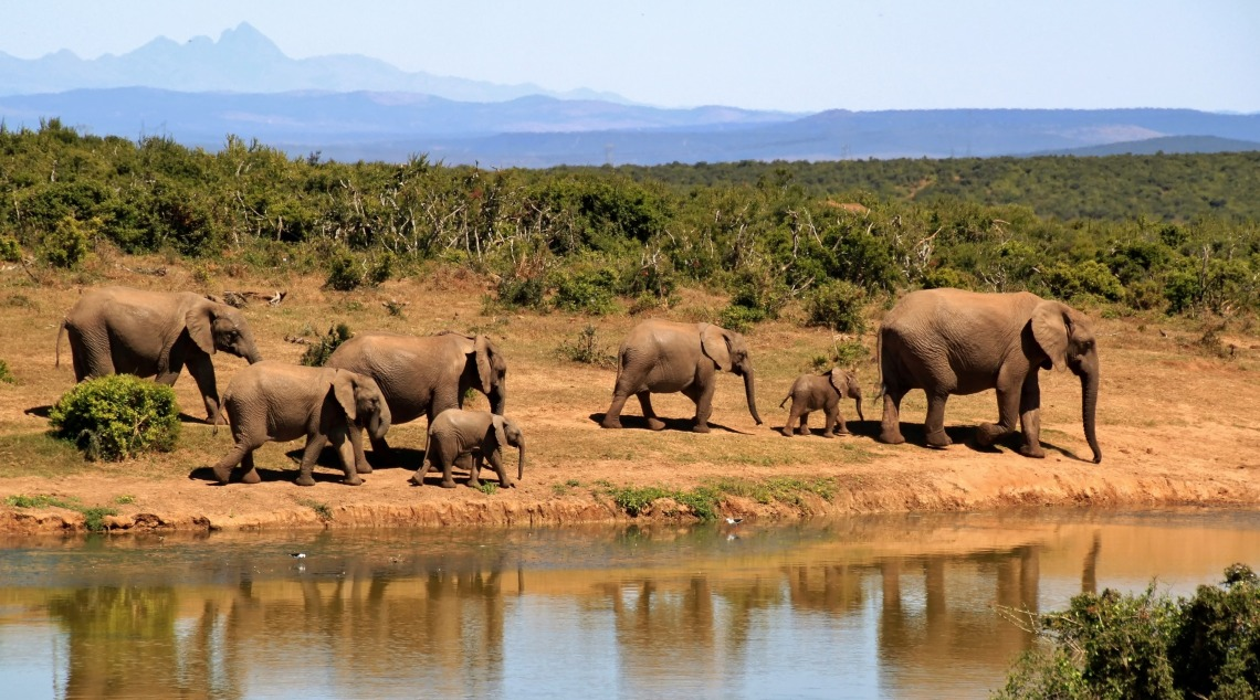 elephant-herd-of-elephants-african-bush-elephant-africa-59989