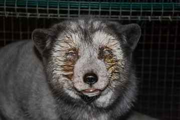 Oikeutta_eläimille_-_Fur_farming_in_Finland_02