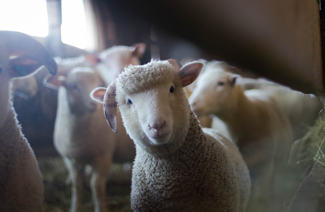 sheep-3025866_1280