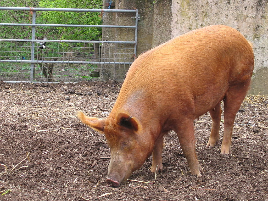 1024px-Mudchute_farm_pig_side