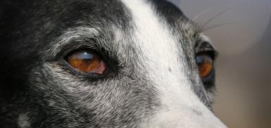 greyhound-3250349_1920